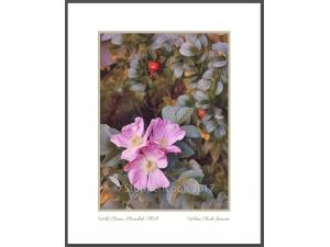 Wild Roses, Stanchel